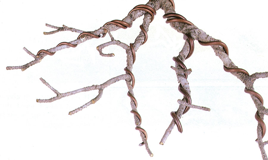 Superb Quiet Crow Bonsai Technique Four Tips For Better Wiring Wiring Cloud Nuvitbieswglorg