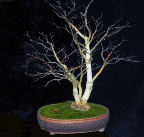 Quiet Crow Bonsai White Bark Birch