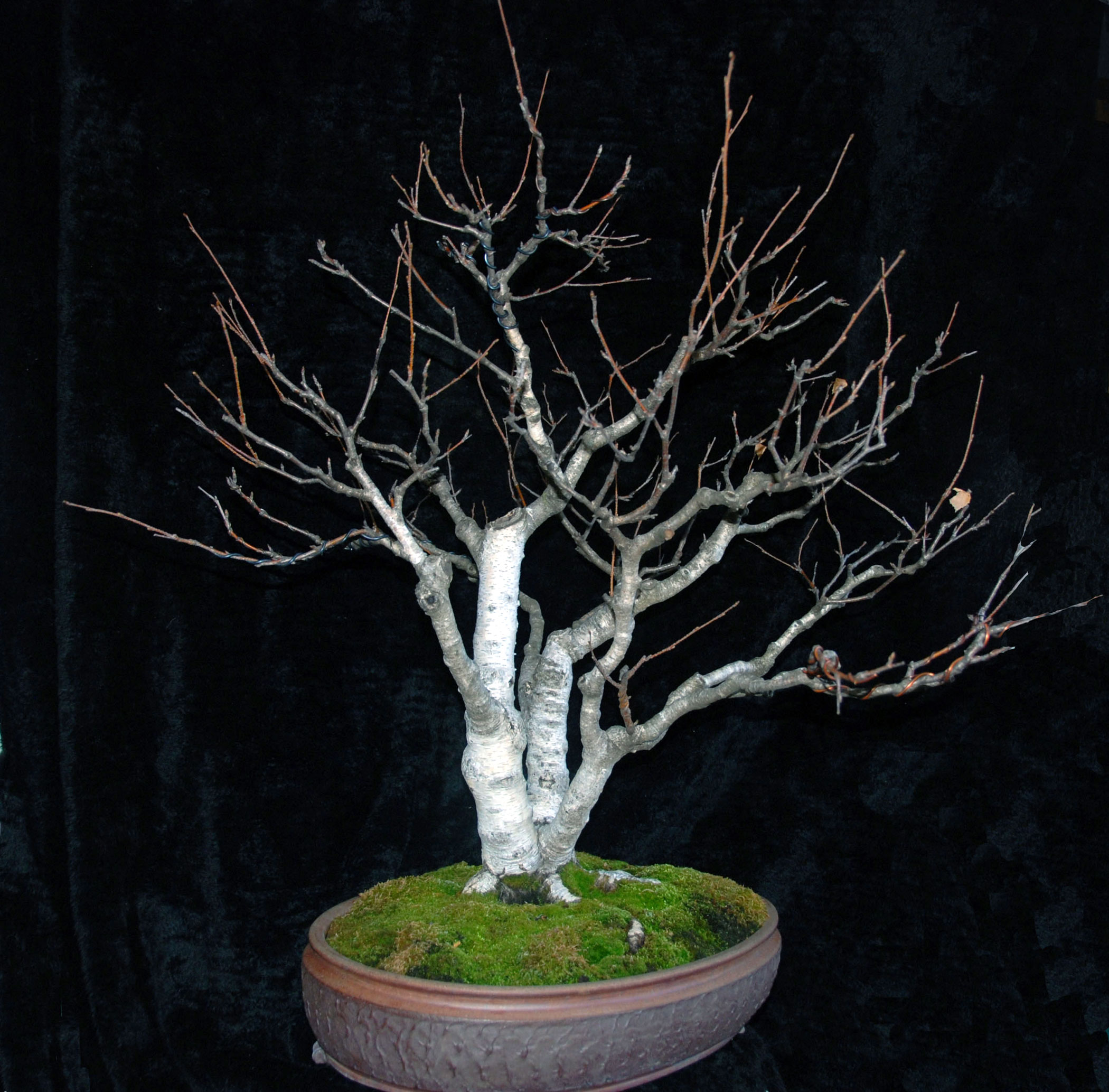 Quiet Crow Bonsai White Bark Birch Wiring Maple With New Front 2013